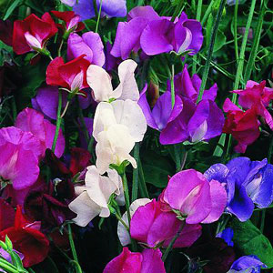 Sweet Pea 'Old Spice'