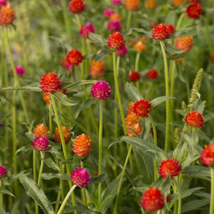 Gomphrena haageana Qis Sunset Mix