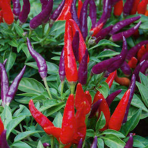 Sangria Ornamental Pepper