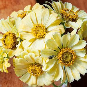 Zinnia Isabellina Creamy Yellow