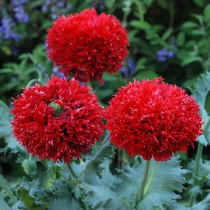 Crimson Feathers Poppy