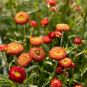 Strawflower Copper Red