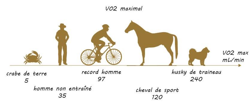 entrainement cheval caractéristiques physiques VO2 max
