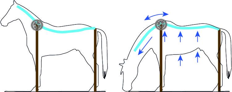muscler le dos de son cheval fonctionnement encolure basse