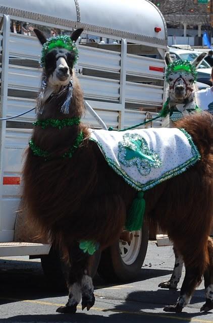 Llamas in the St. Patrick's Day Parade