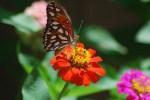 Butterfly on Zinnia Orange