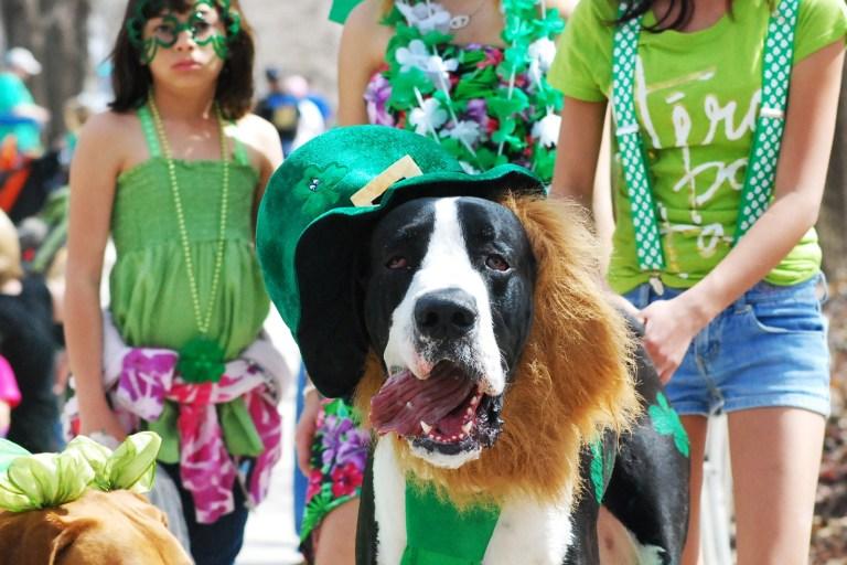A Saint Bernard dresses up for St. Patricks Day in Oklahoma City | 2013