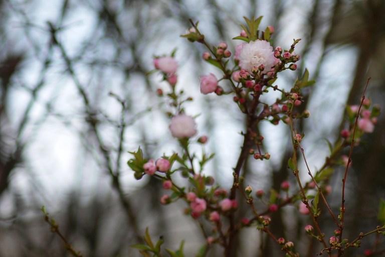 Pink Sweet Almond Bush Spring