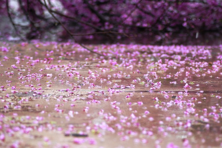 downed red bud petals ice