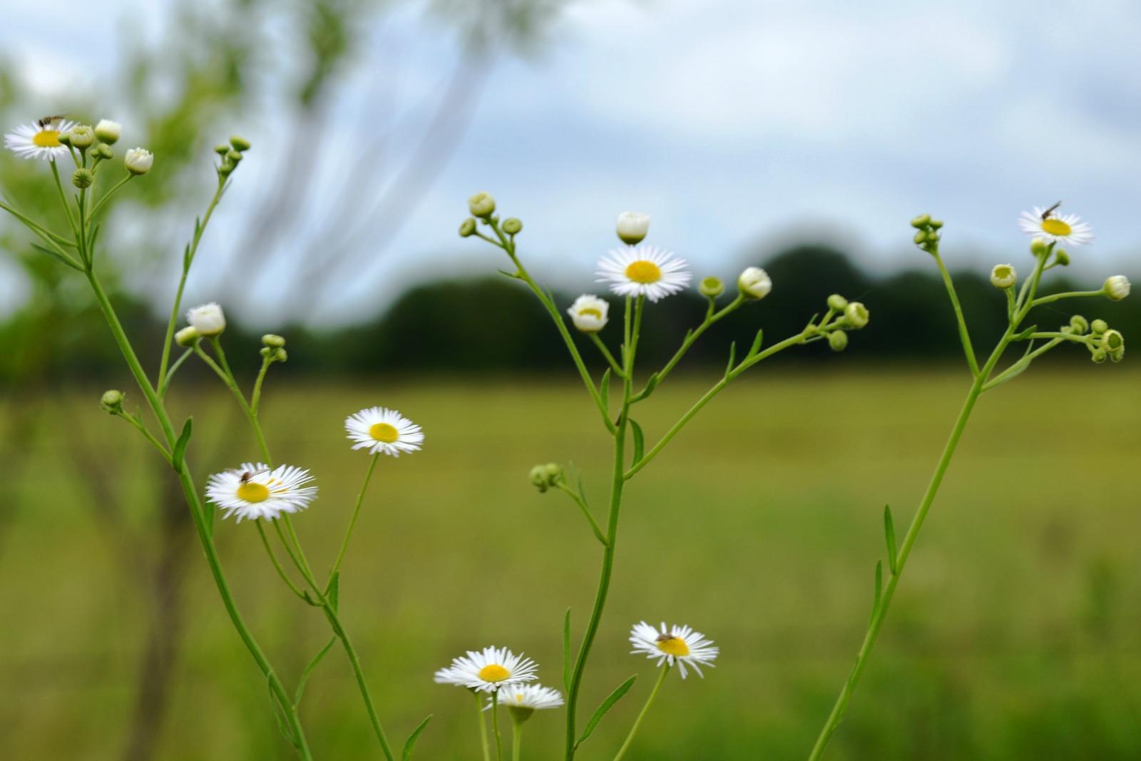 Daisy Fleabane Wild Flowers