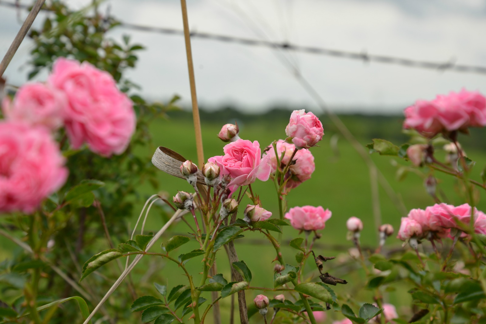 Roses Pink and Wild