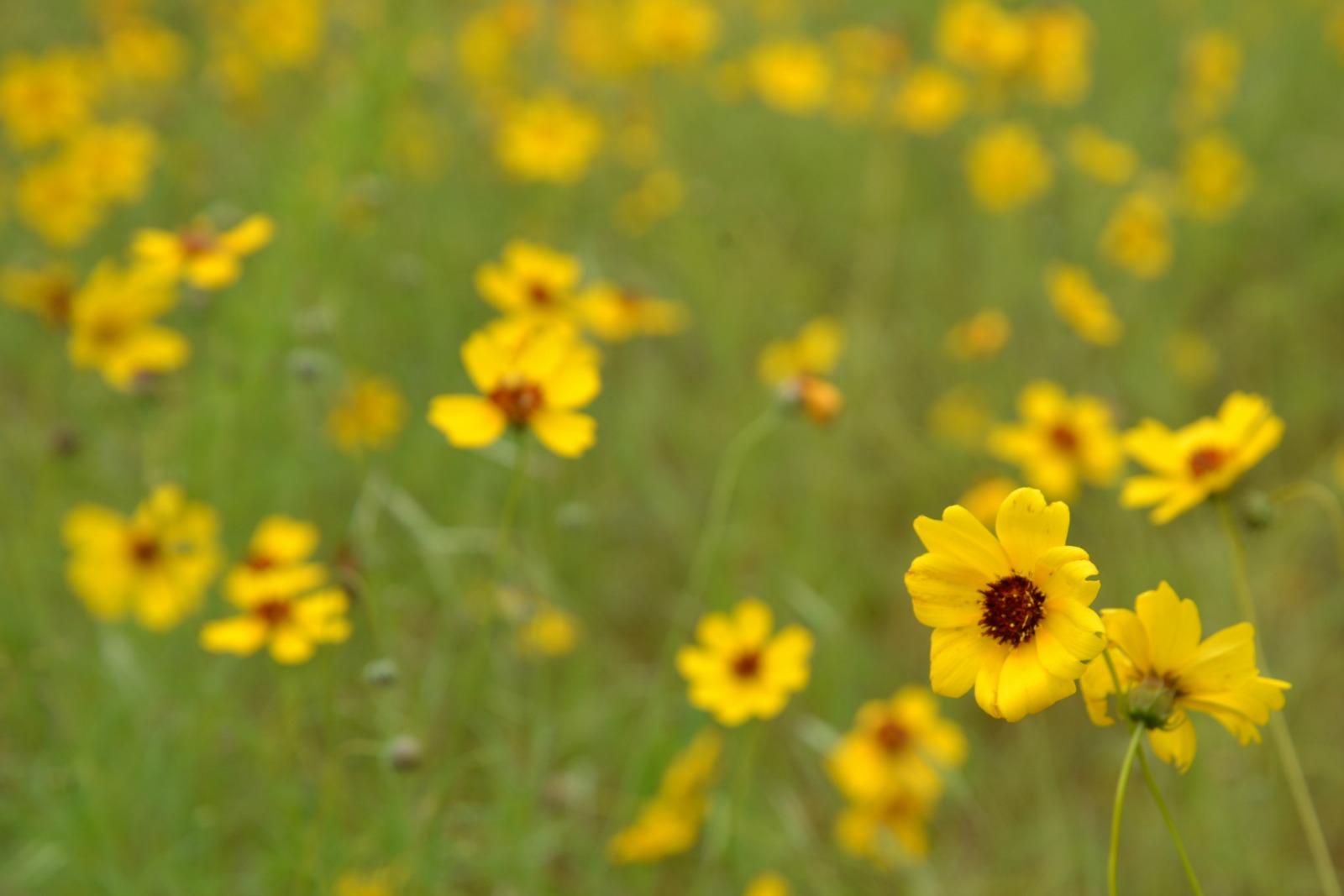 Yellow Field of Flowers