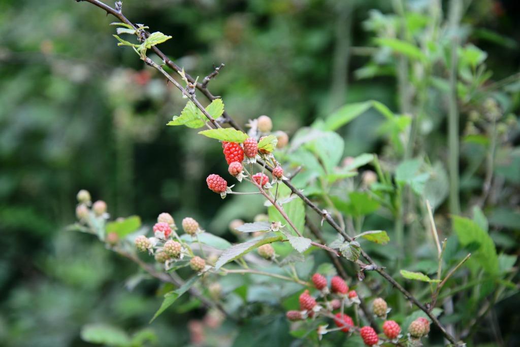 Blackberries Ripening on the Vine Wild