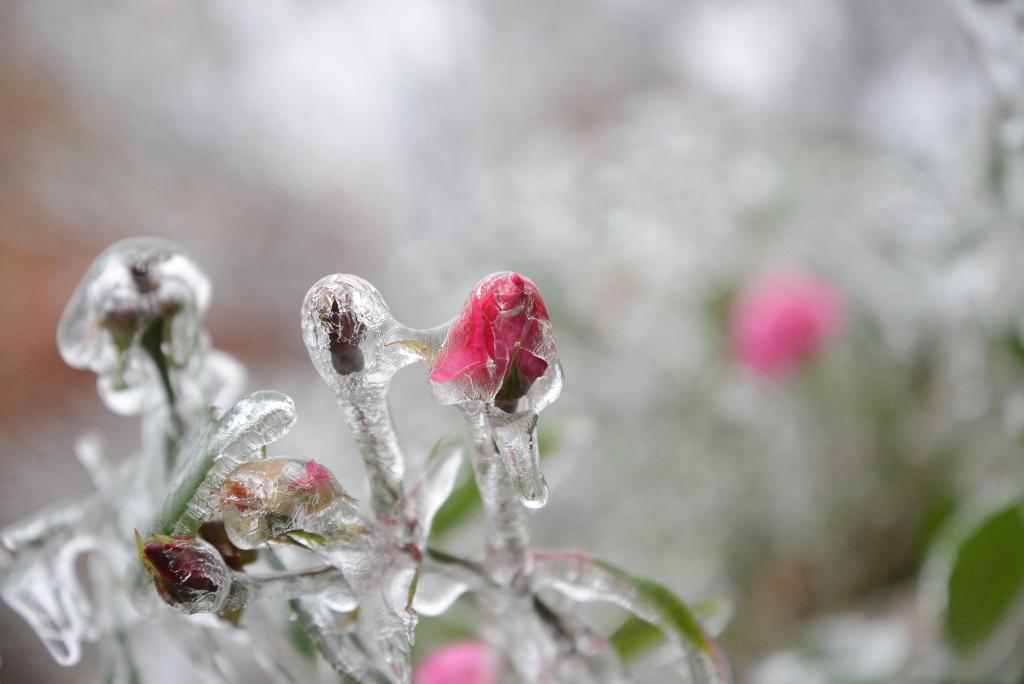 Rosebud incased in winter ice