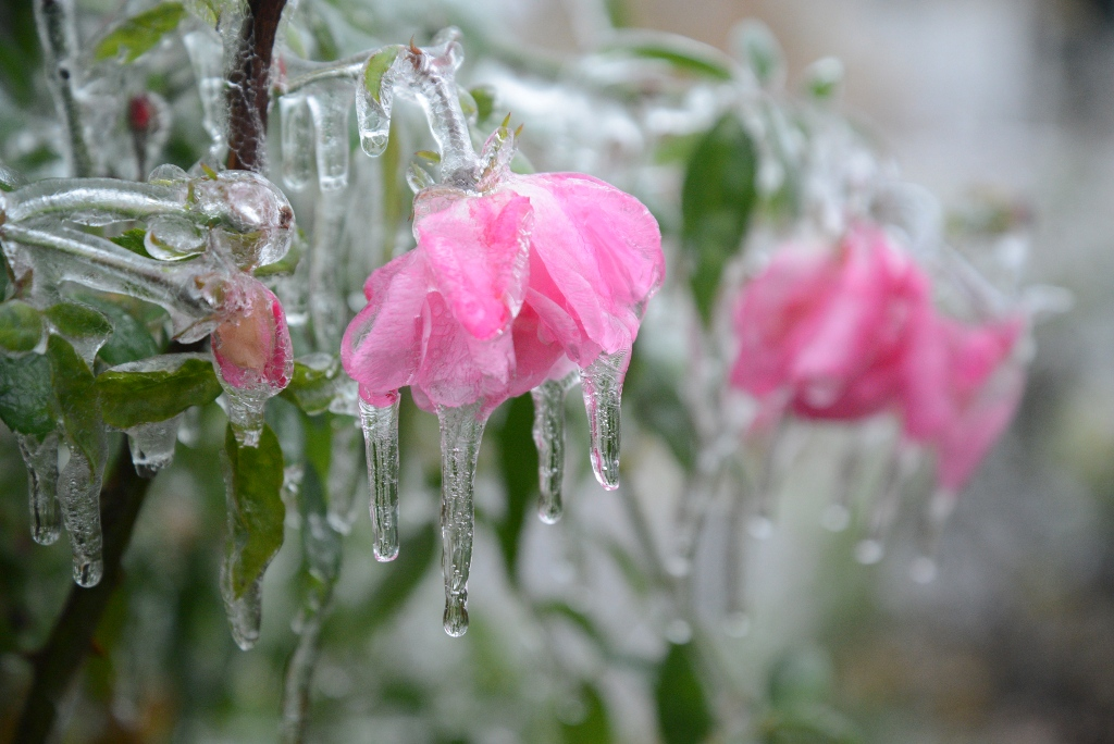 pink roses covered in ice