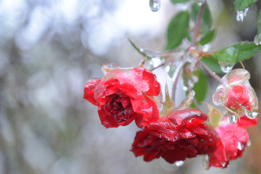 red roses covered in ice
