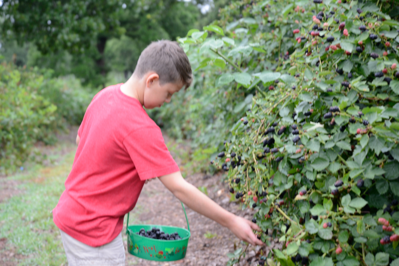 Boy picking berries at a picking farm in OKC