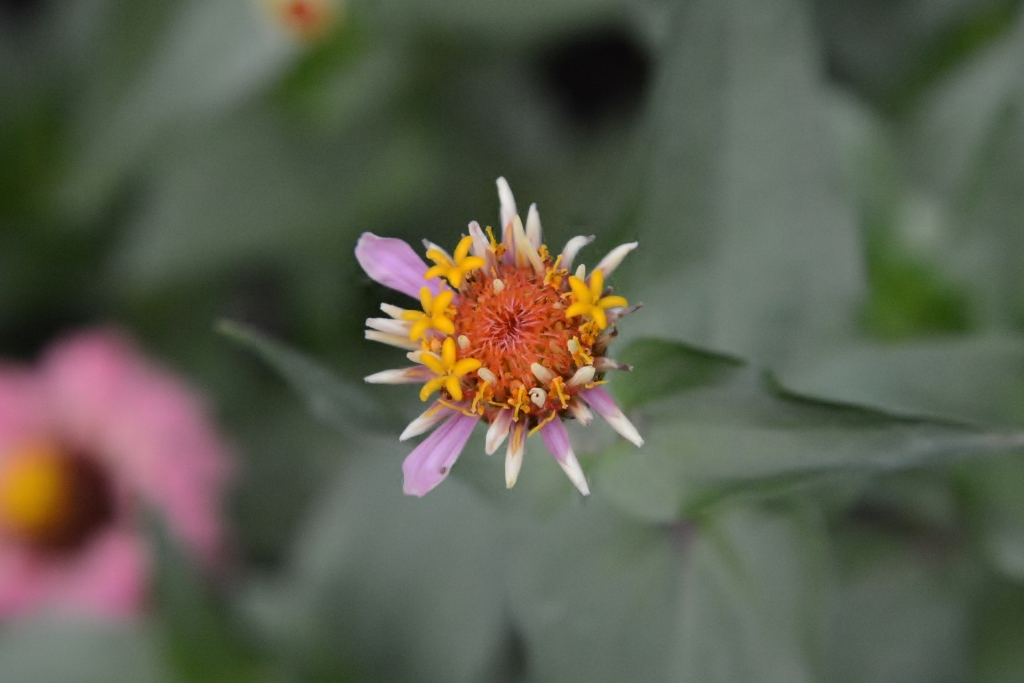 Zinnia with no petals