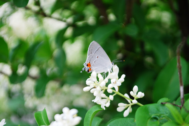 Gray Hairstreak Butterflies Oklahoma