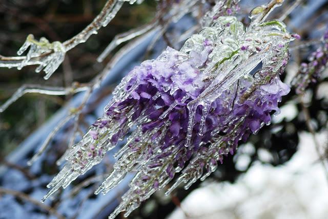 purple amethyst wisteria