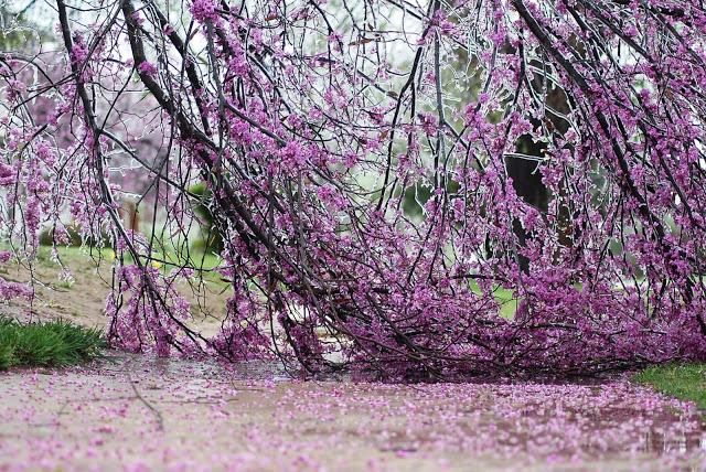 Oklahoma Ice Storm Claims Redbud Tree