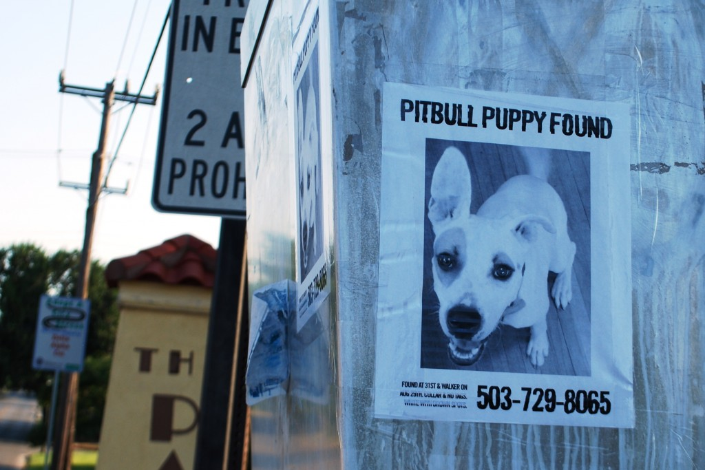 Lost and Found Pit bull Puppy
