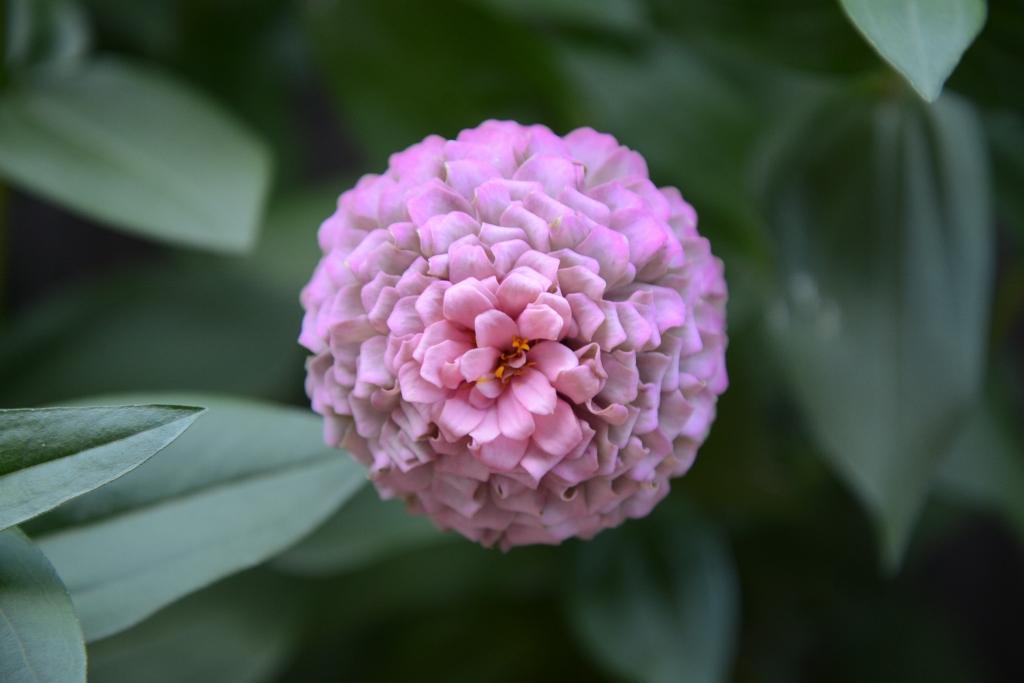 Pink Ruffley Zinnia
