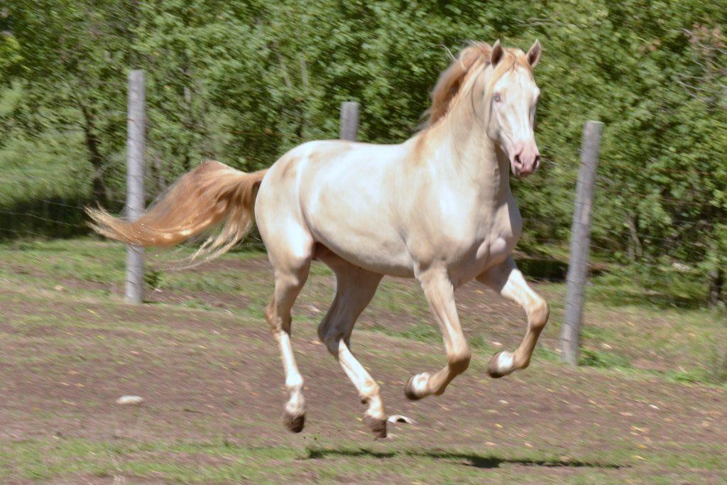 Jericho's White Knight, Morgan stallion.