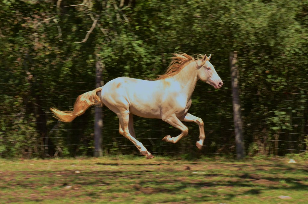 Jericho's White Knight cantering in the field. Photo Credit: Rosie Hartmann