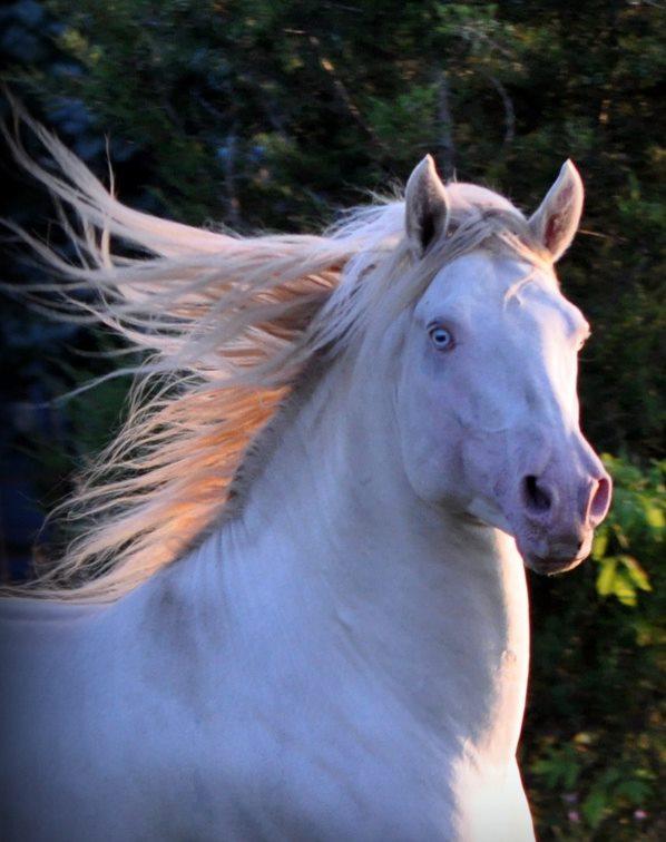 Jericho's White Knight Smokey Cream Dun Morgan Stallion
