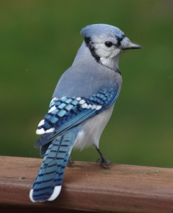 Blue-Jay-Oct-2016