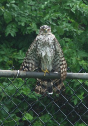 Coopers-Hawk-II-7-14-16