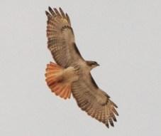 Hawk-spread