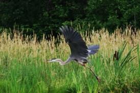 Heron-Weaver-lake