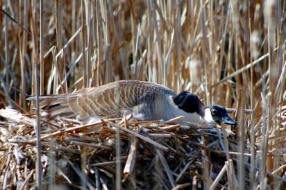 Canada-Goose-nesting
