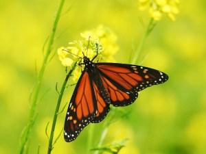 Monarch-Bokah1