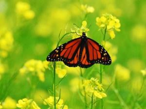 Monarch-Bokah2
