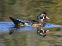 Wood-Duck-Oct21-17