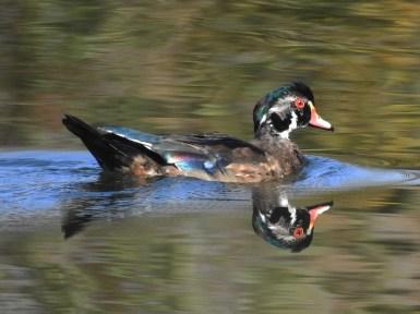 Wood-Duck-Oct21-17