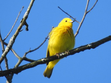 Yellow-Warbler -June-17