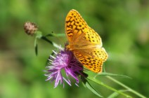 Gold-butterfly-Moth