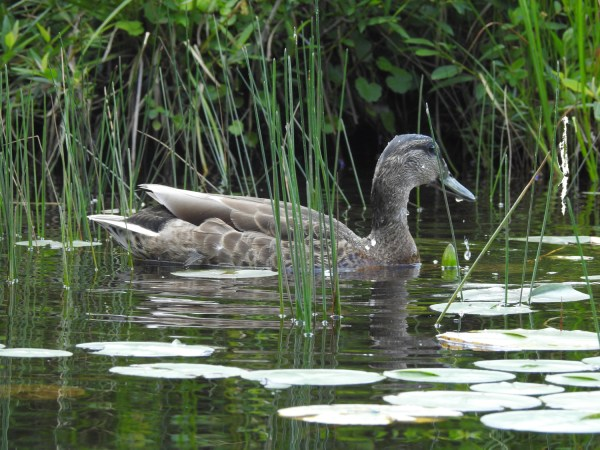 Blues Winged Teal
