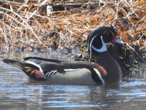 Wood-Duck-Male2