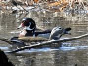 Wood-Duck-Pair
