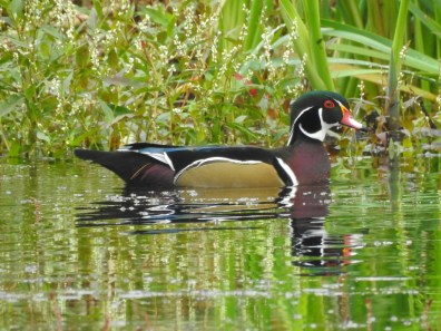 Wood-Duck-Sept18-web