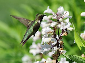 Hummingbird at Root Glen