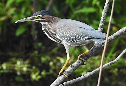 BlackCrowned-Night-Heron-branch-web