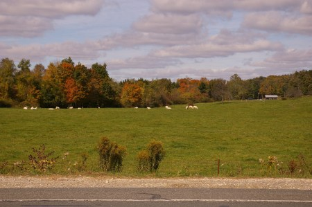 Cows...and sky...