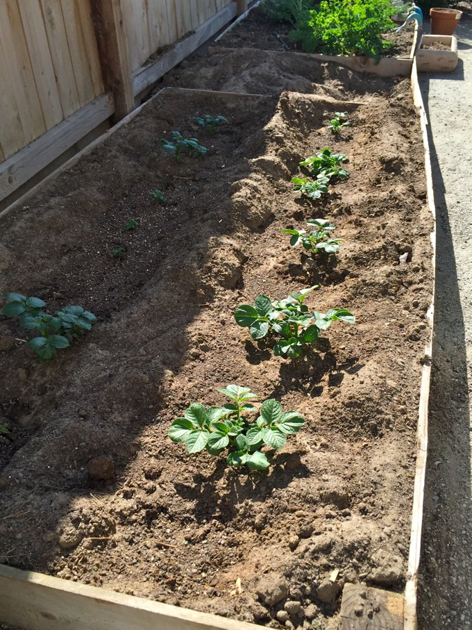 Growing Potatoes in the Garden