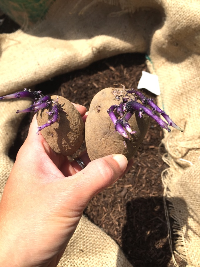 Purple Seed Potatoes